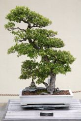 Bonsai Sageretia