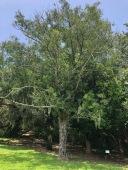 Large Male Tree at Bird City
