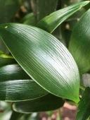 Dichotomous Venation of leaf