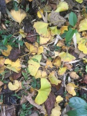 Ginkgo leaves on Dec. 17th, along path, outside the forest.