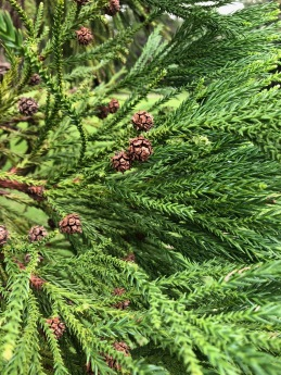 Seed Cones of Cryptomeria.