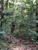 Podocarpus forest