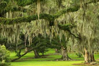 Live Oaks with Spanish Moss